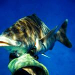 SpearfishingCaribe